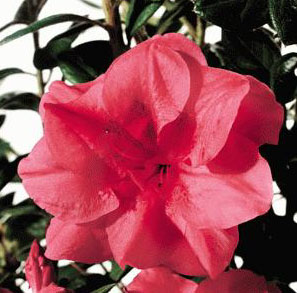 Rhododendron 'Autumn Princess'  / Rhododendron 'Autumn Princess'