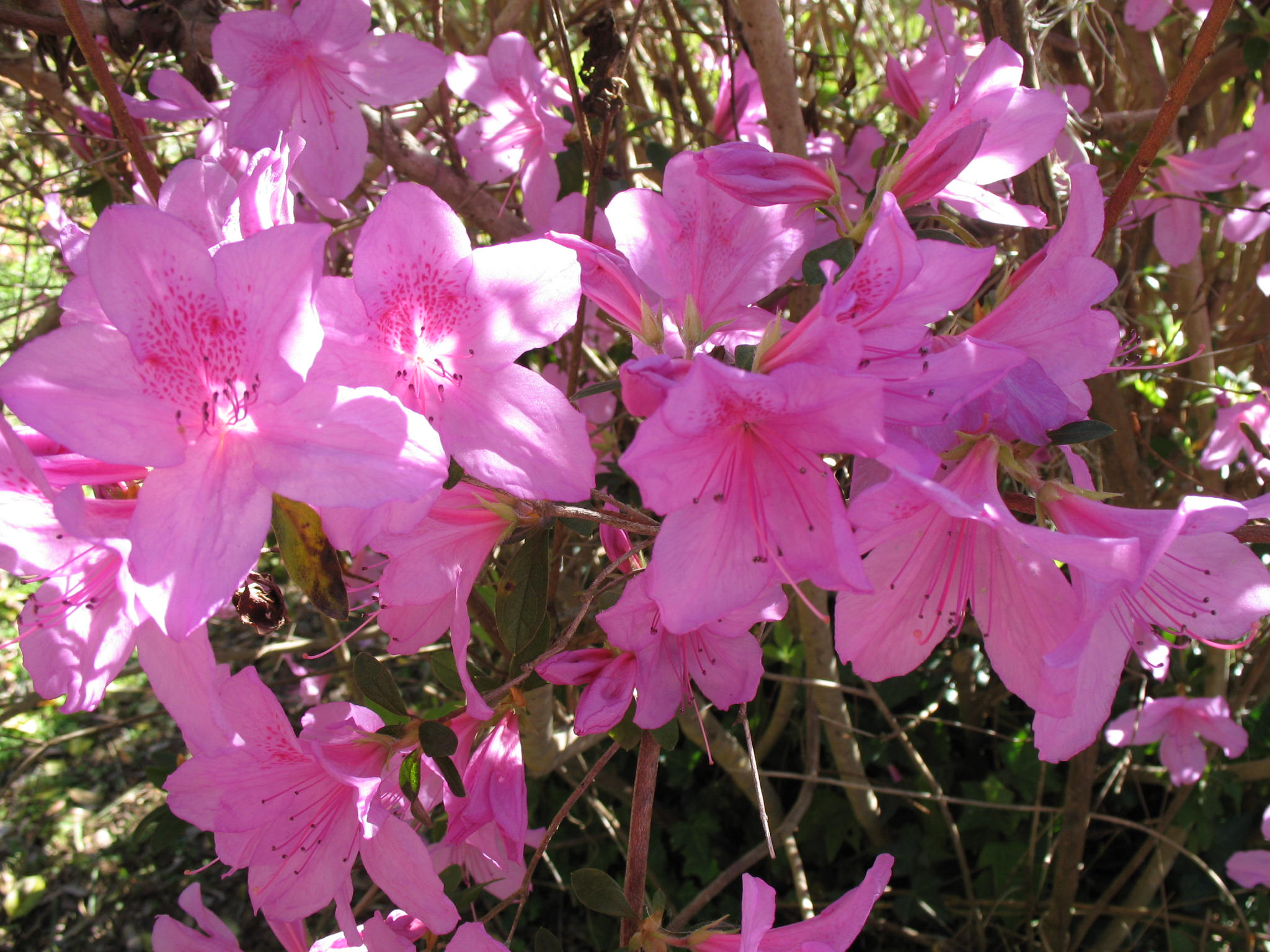 Rhododendron 'Rosedown Pink'  / Rhododendron 'Rosedown Pink'