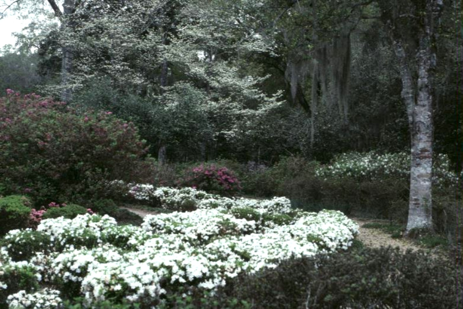 Rhododendron 'Snow'  / Rhododendron 'Snow'