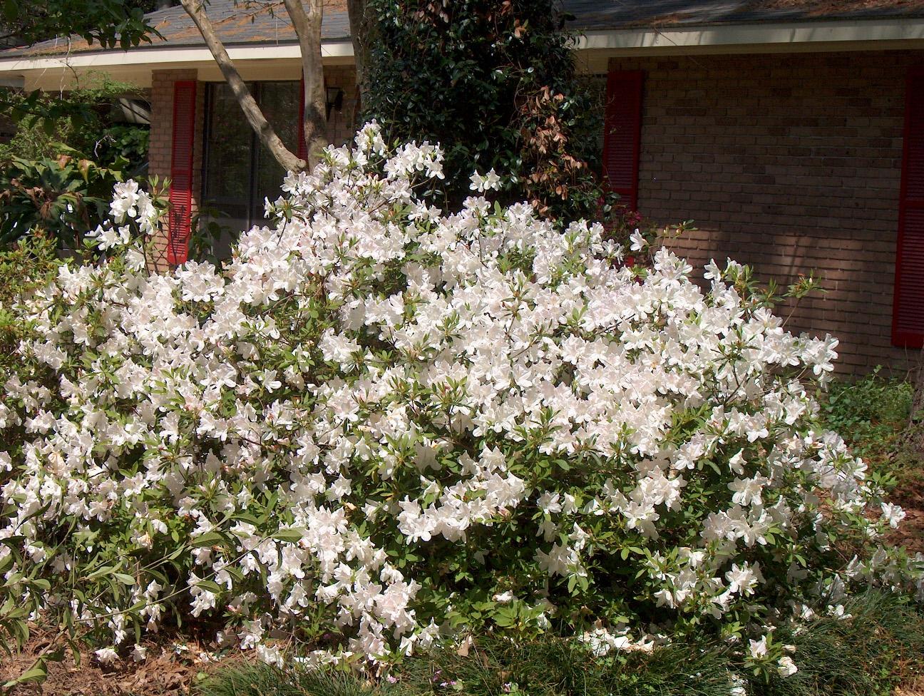 Rhododendron indicum 'Mrs. G.G. Gerbing' / Rhododendron indicum 'Mrs. G.G. Gerbing'
