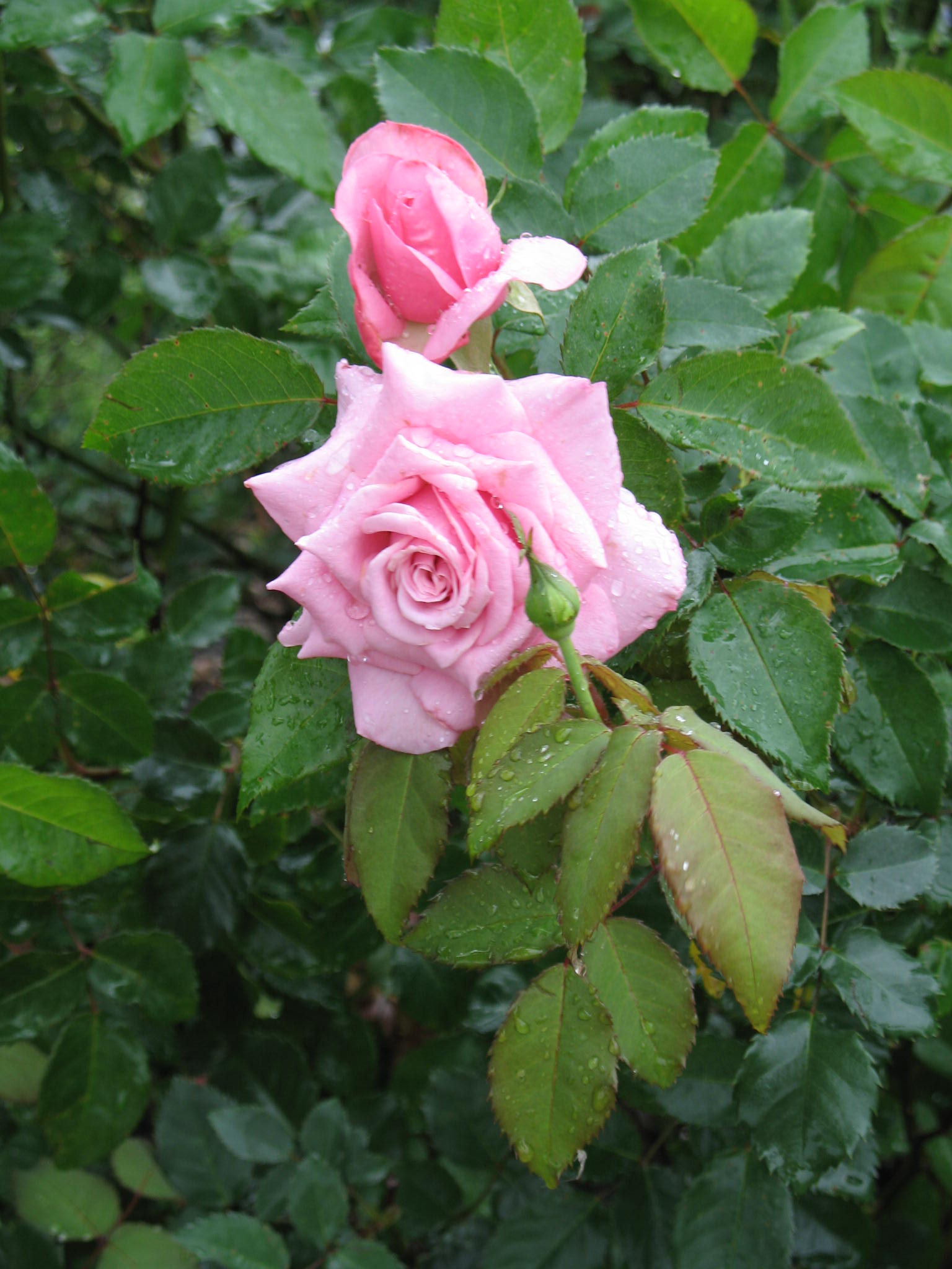 Rosa 'Belinda's Dream' / Rosa 'Belinda's Dream'