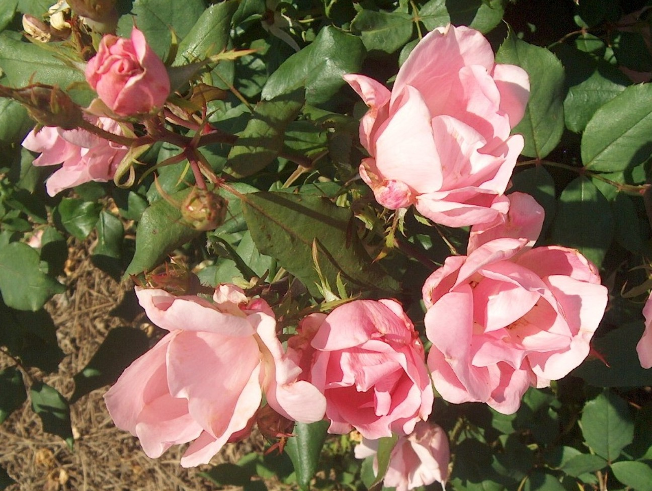 Rosa 'Blushing Knock Out' / Rosa 'Blushing Knock Out'