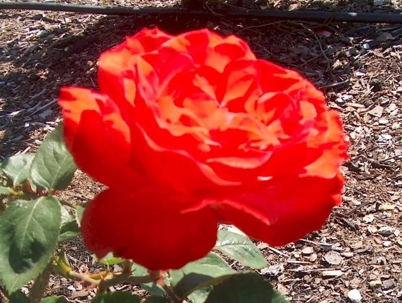 Rosa 'Brinessa'  / Rosa 'Brinessa'
