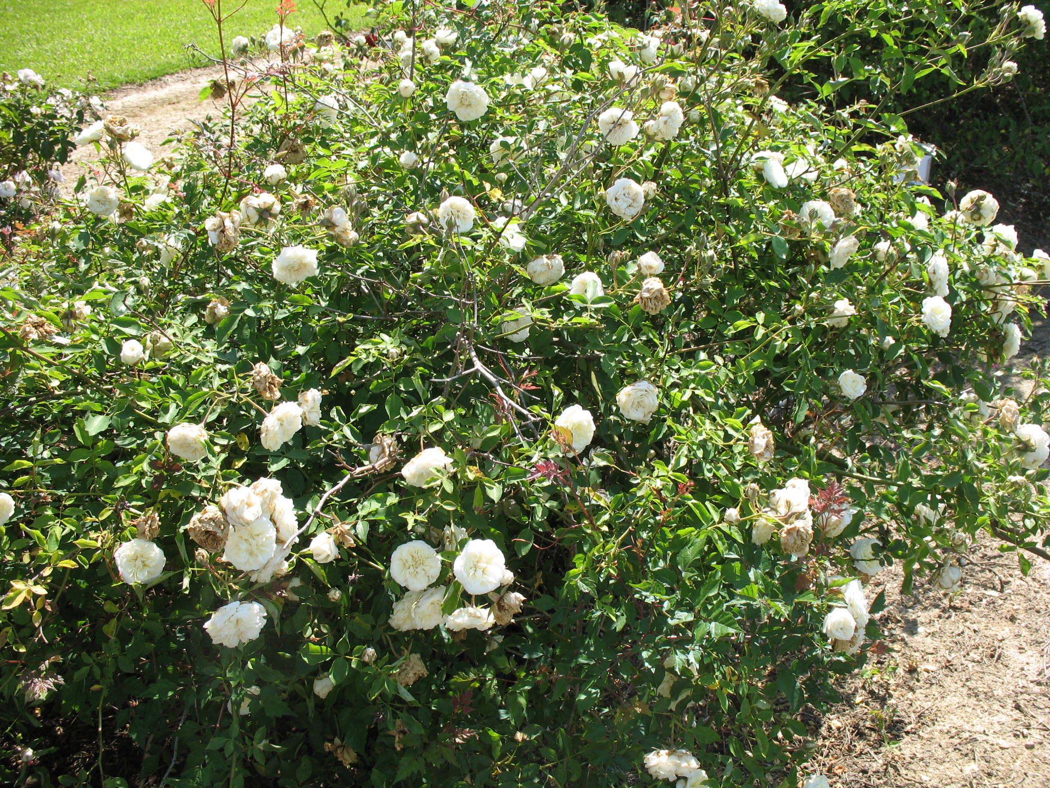 Rosa 'Lamarque'  / Rosa 'Lamarque'