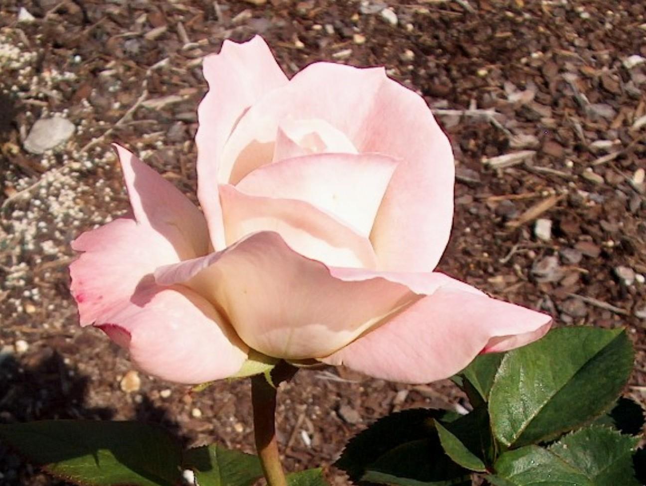 Rosa 'Pristine'  / Rosa 'Pristine'