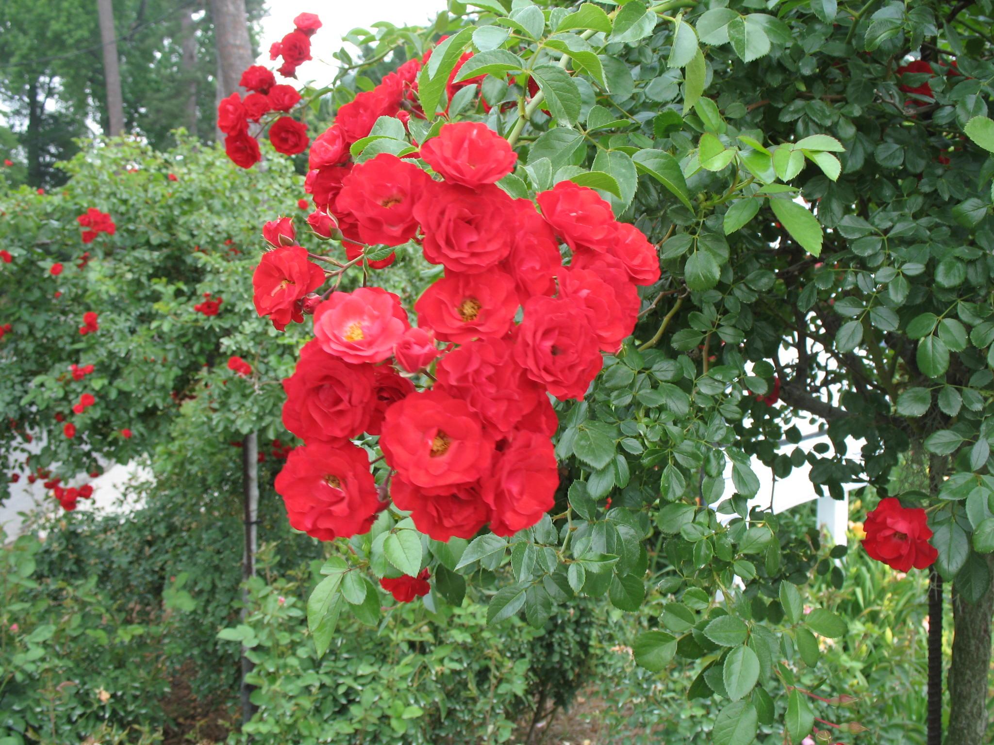 Rosa 'Scarlet Meidland'  / Rosa 'Scarlet Meidland'