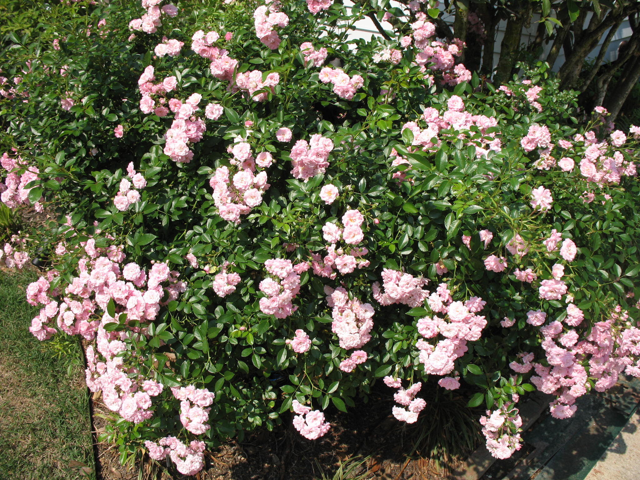 online plant guide rosa 39 the fairy 39 the fairy rose