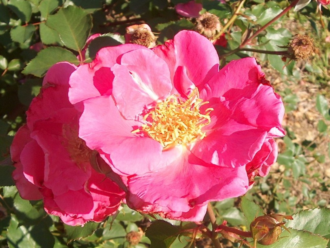 Rosa 'Carefree Beauty'  / Rosa 'Carefree Beauty'