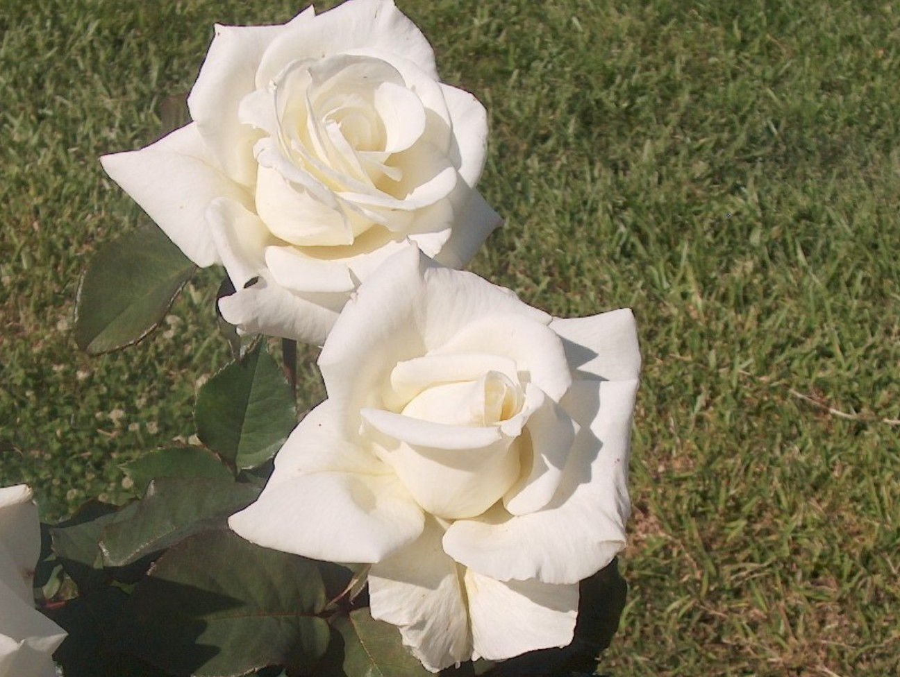 Rosa 'White Success' / Rosa 'White Success'