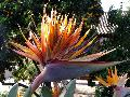 Bird of Paradise / Strelitzia reginae