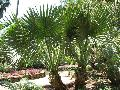 Louisiana Sabal Palm / Sabal minor x Sabal mexicana