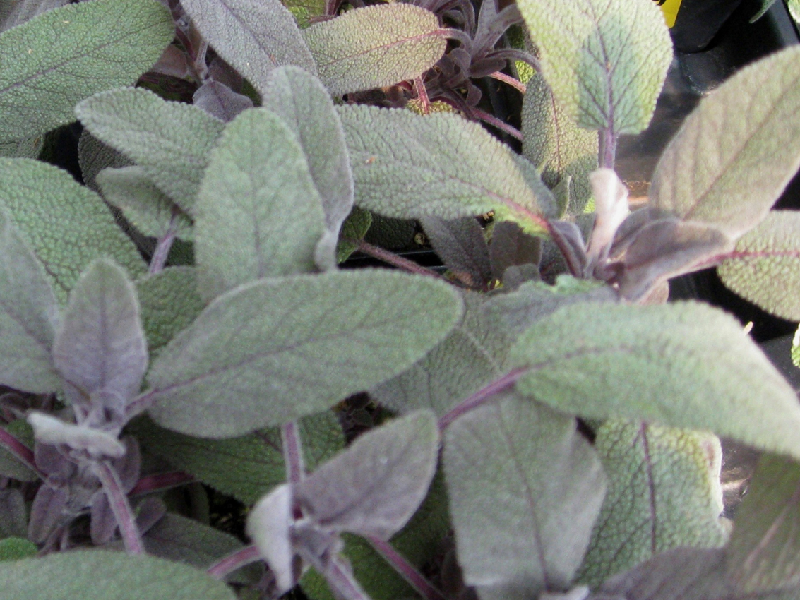 Salvia officinalis 'Purple Sage' / Salvia officinalis 'Purple Sage'