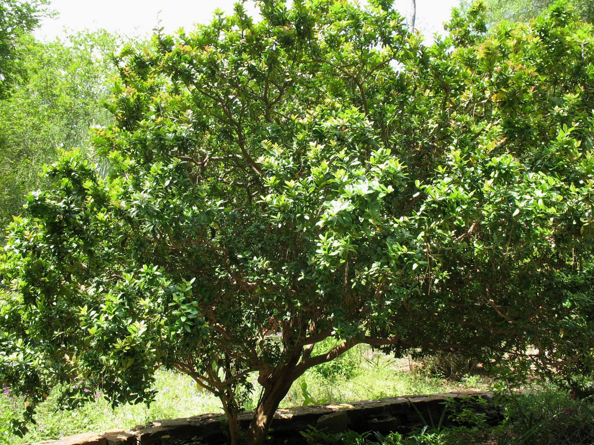 Severinia buxifolia  / Severinia buxifolia