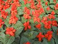 Dwarf Red Salvia / Salvia  splendens