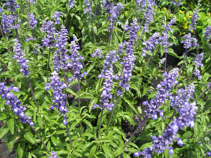 Salvia farinaceae 'Mealy Blue'  / Salvia farinaceae 'Mealy Blue'