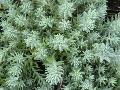 Spruced-leaved Stonecrop / Sedum reflexum
