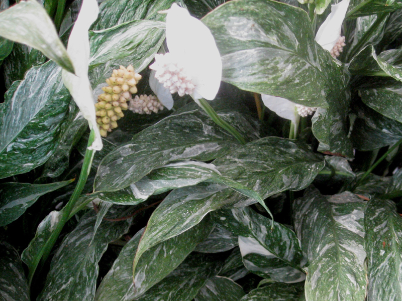 Spathiphyllum 'Domino' / Spathiphyllum 'Domino'