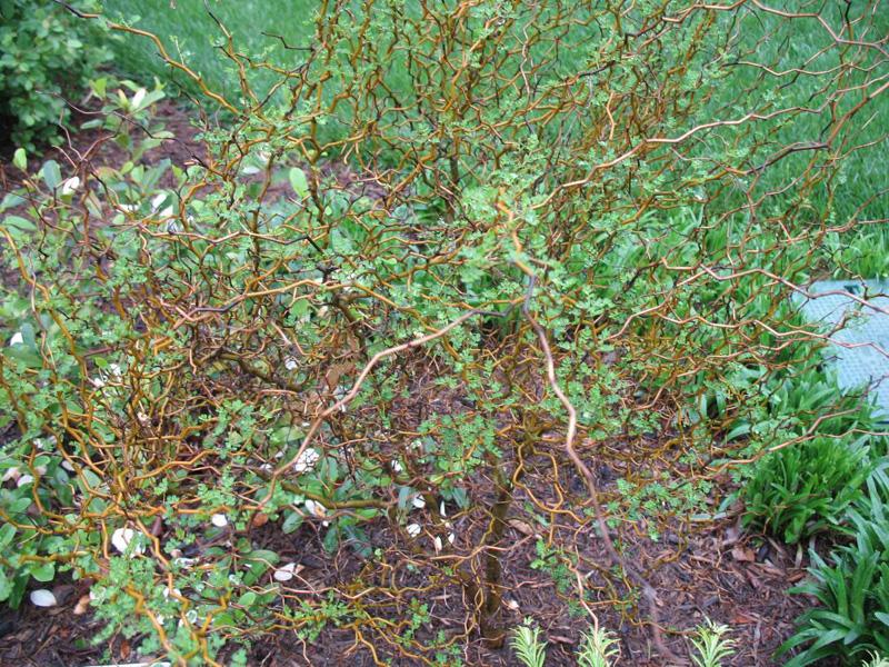 Sophora prostrata 'Little Baby'   / Sophora prostrata 'Little Baby'