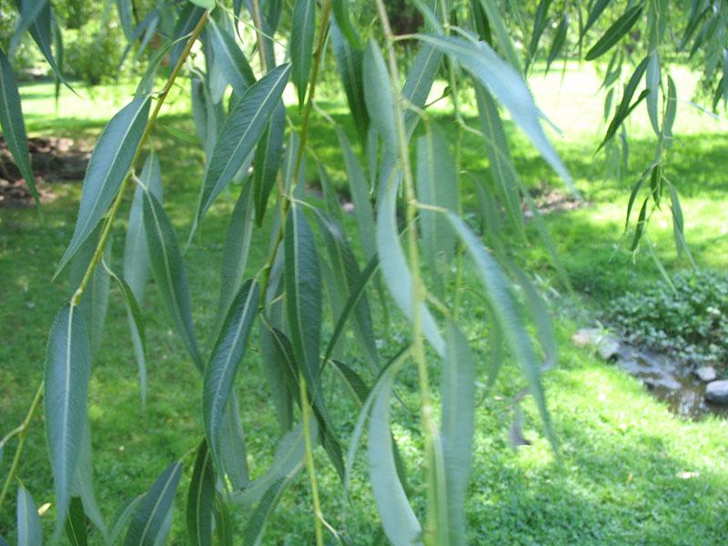 Salix x pendulina var. blanda   / Salix x pendulina var. blanda
