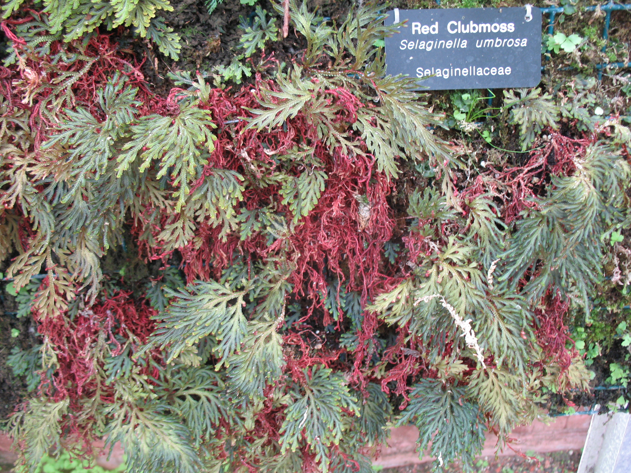 Selaginella umbrosa / Red Club Moss
