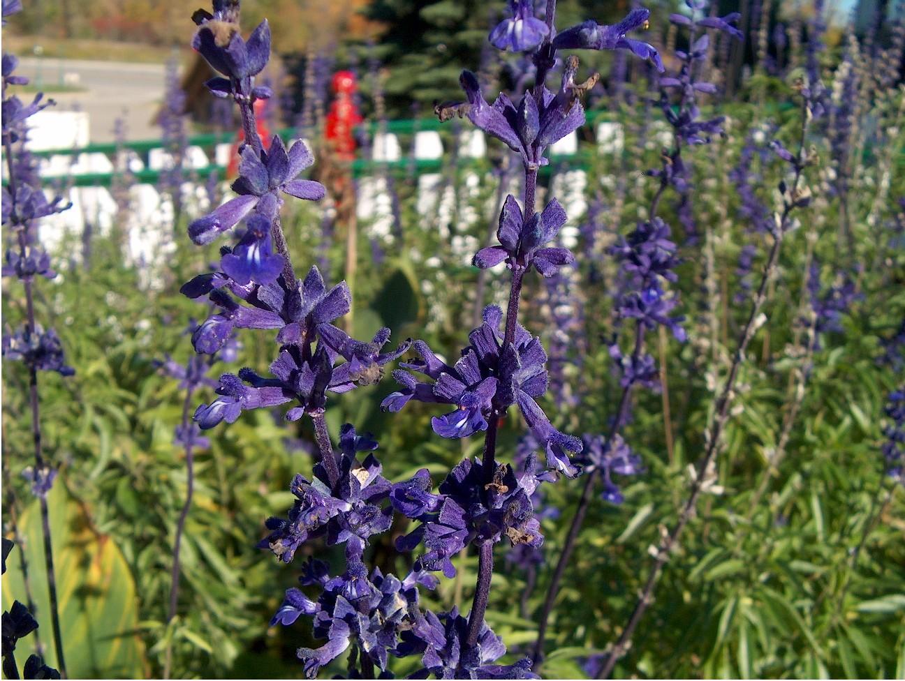 Salvia species / Salvia species