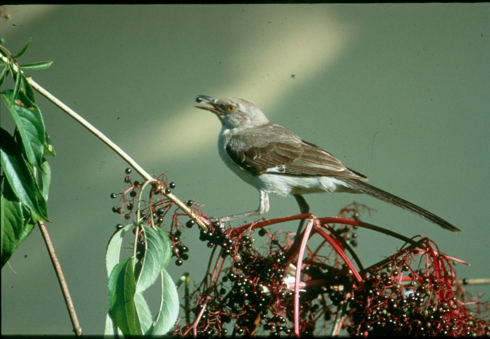 Sambucus canadensis / Sambucus canadensis