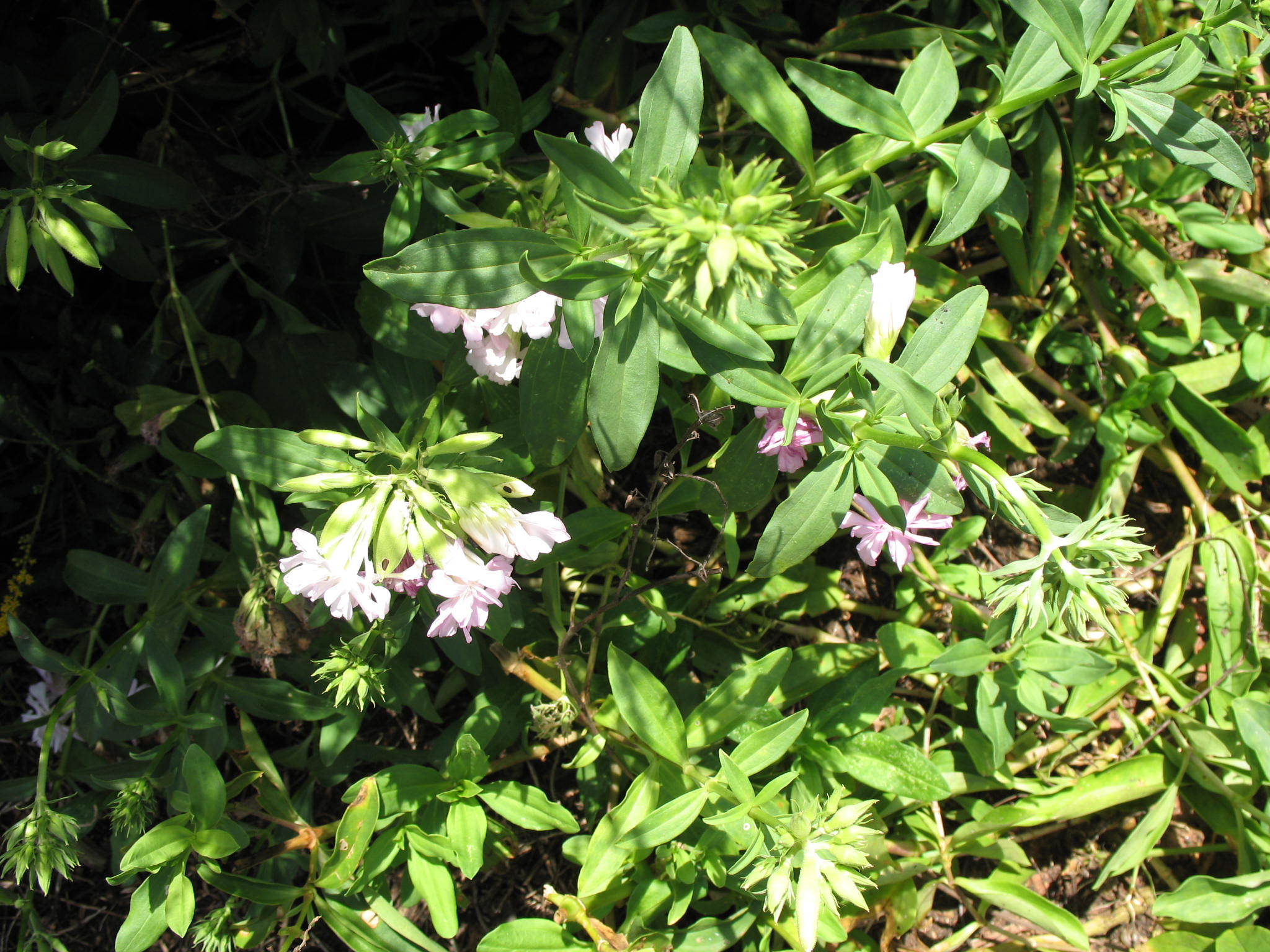 Saponaria officinalis  / Saponaria officinalis
