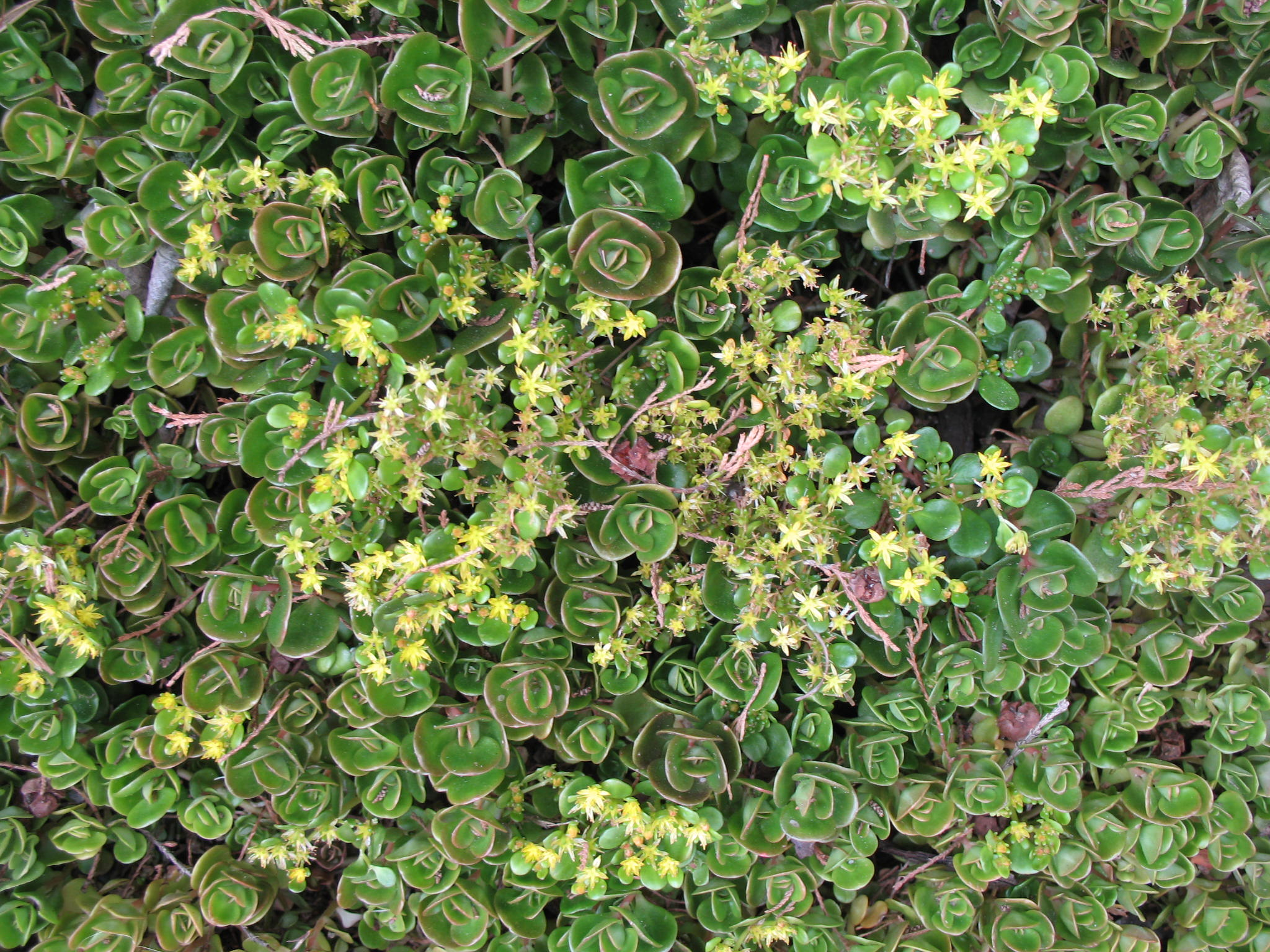 Sedum tetractinum  / Sedum tetractinum