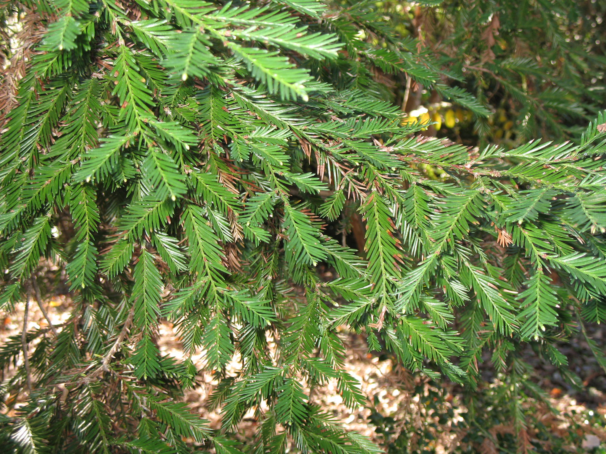 Sequoia sempervirens  / Sequoia sempervirens