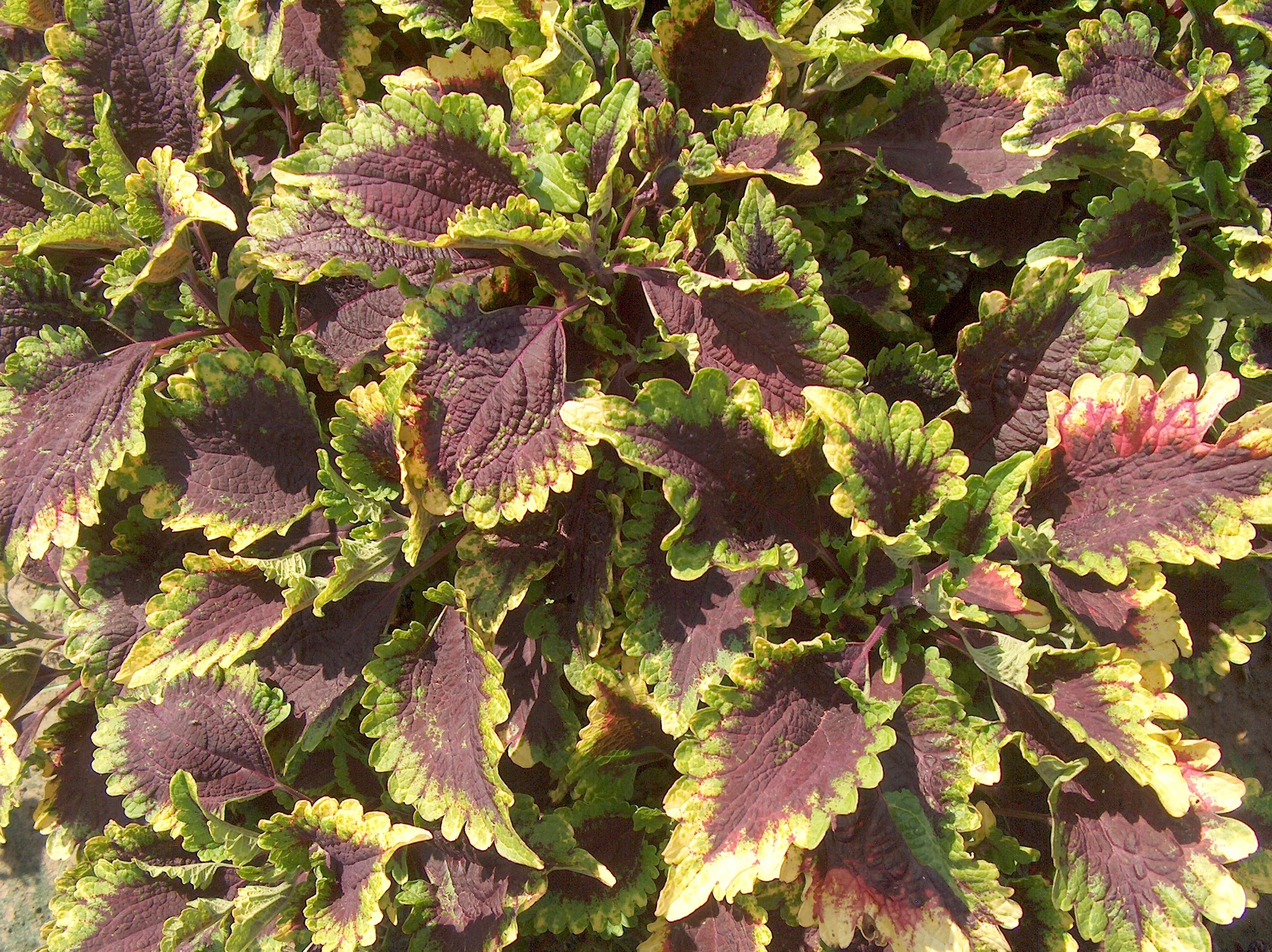 Solenostemon scutellarioides 'Florida Sun Splash'   / Solenostemon scutellarioides 'Florida Sun Splash'