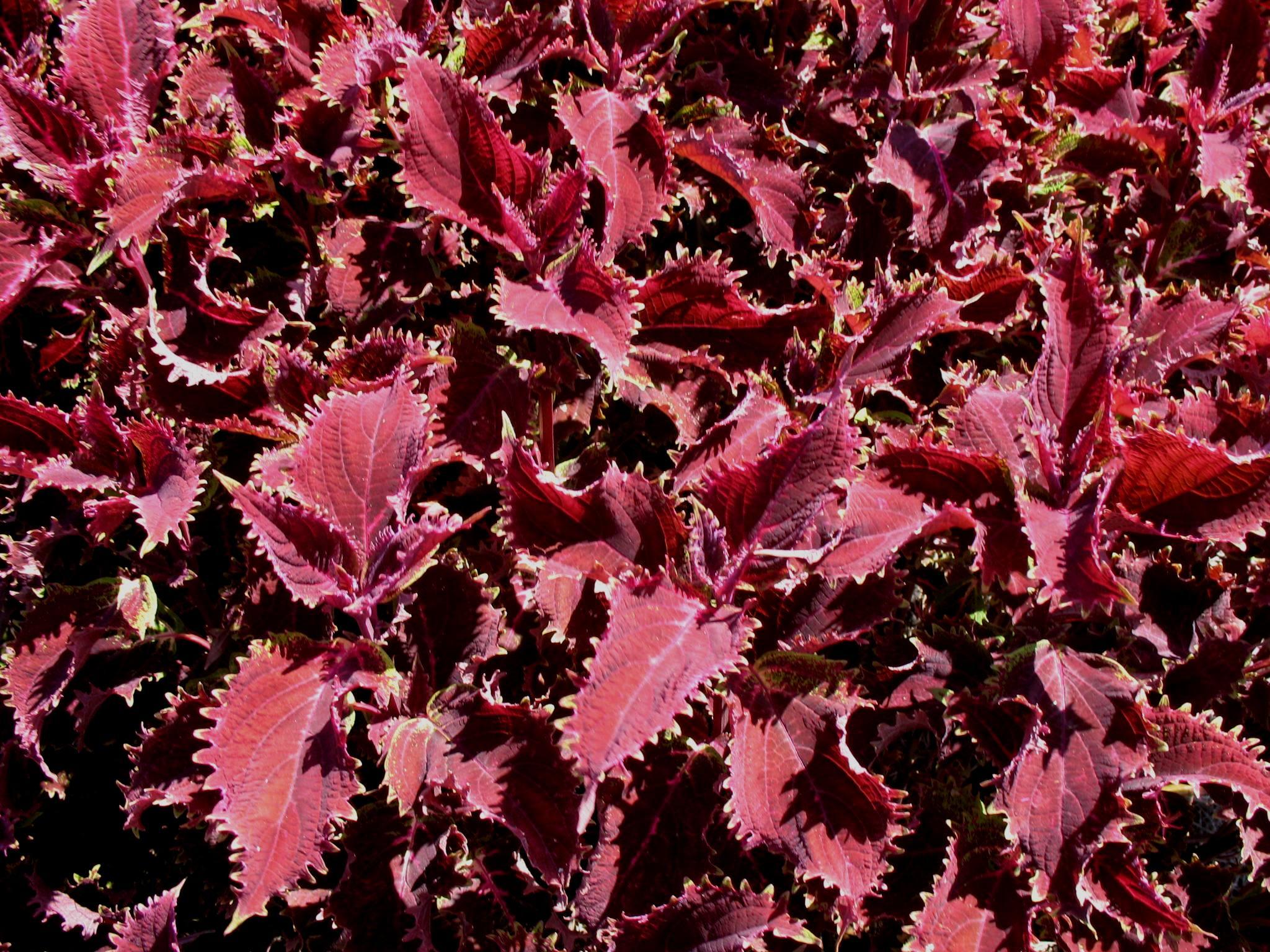 Solenostemon scutellarioides 'Red Ruffles'   / Solenostemon scutellarioides 'Red Ruffles'