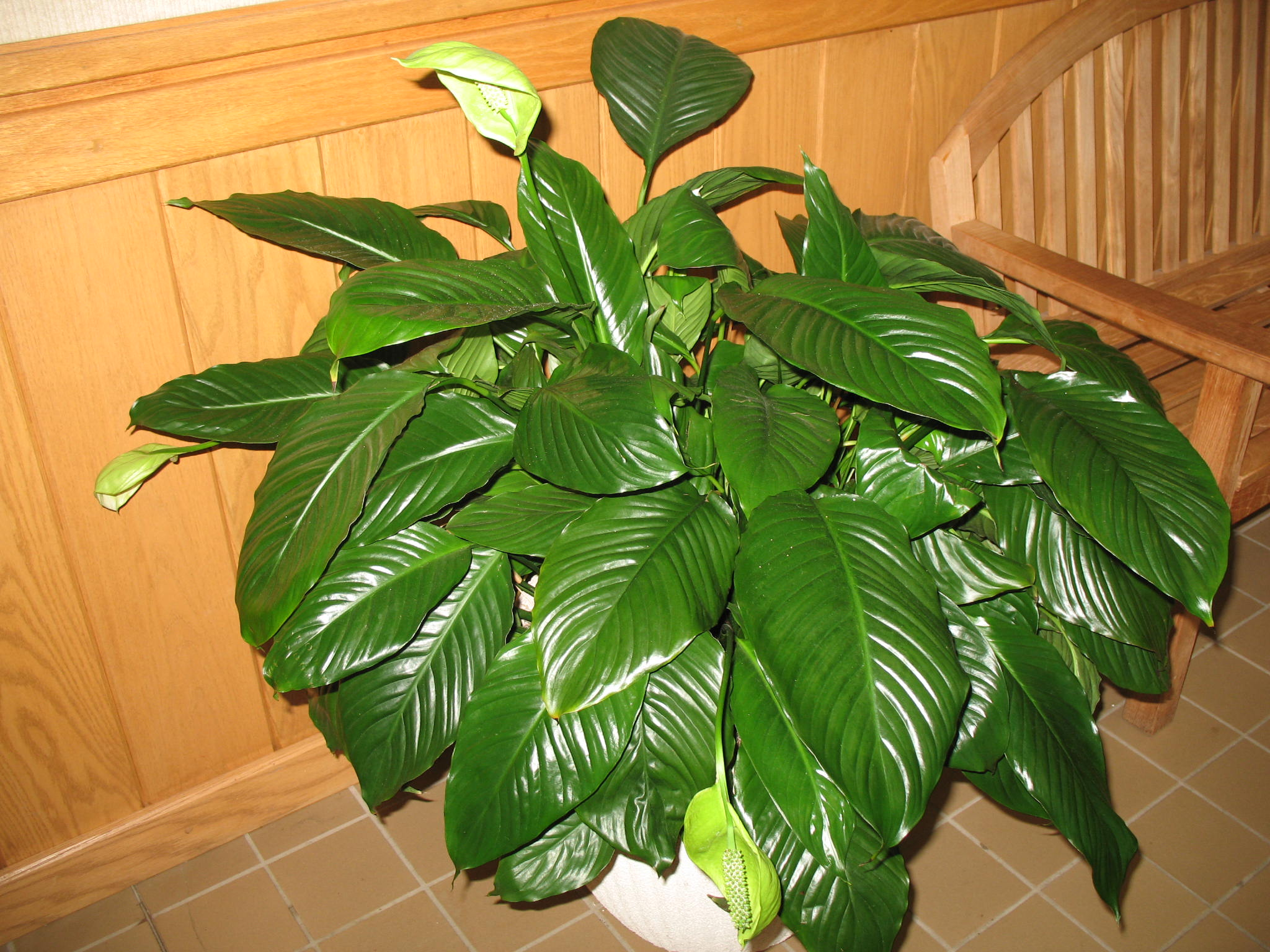 Spathiphyllum species / Spathiphyllum species