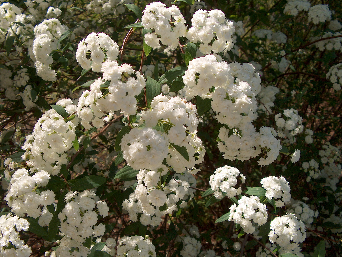 Spiraea cantoniensis / Spiraea cantoniensis