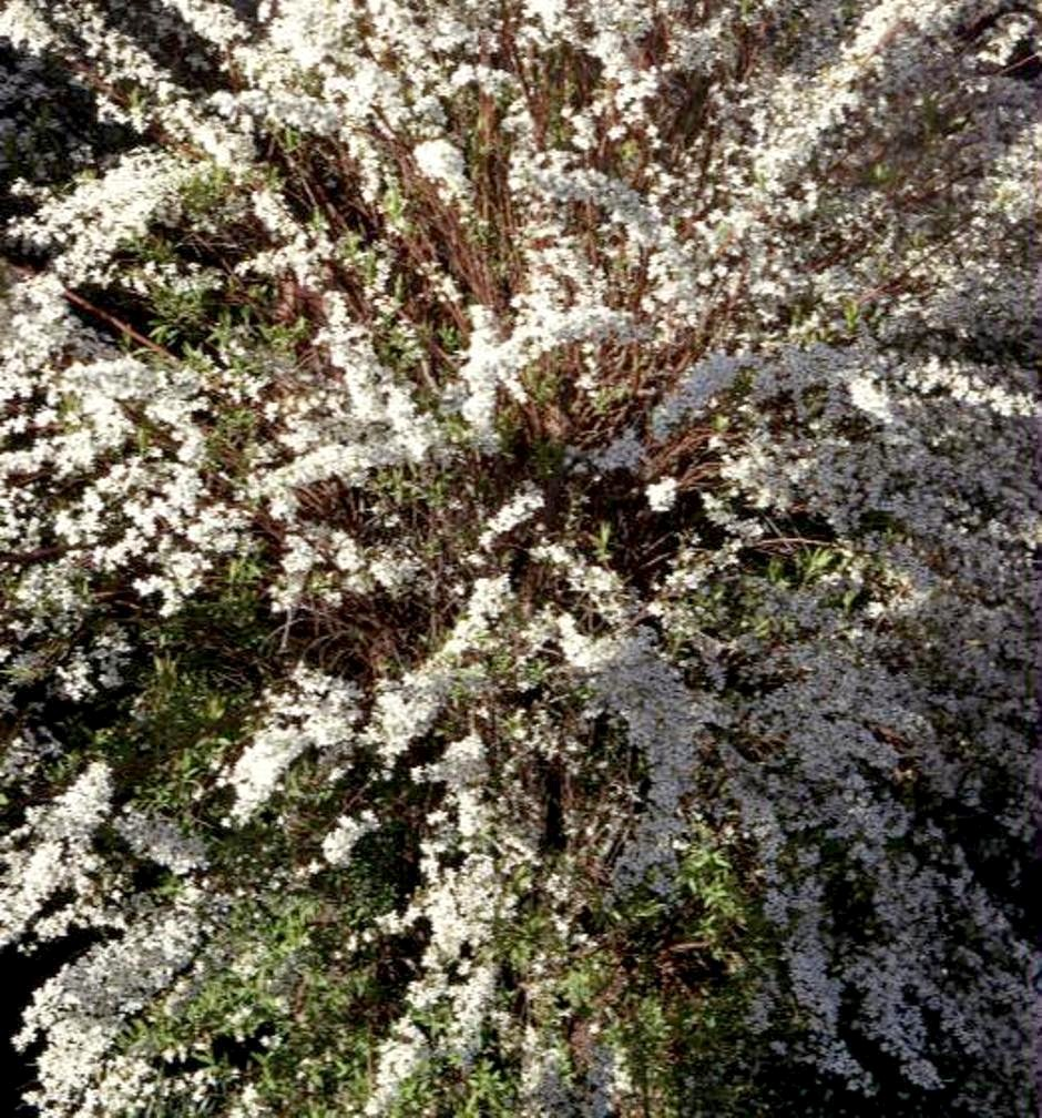 Spiraea prunifolia / Bridal Wreath Spirea