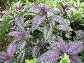 Persian Shield / Strobilanthes dyerianus