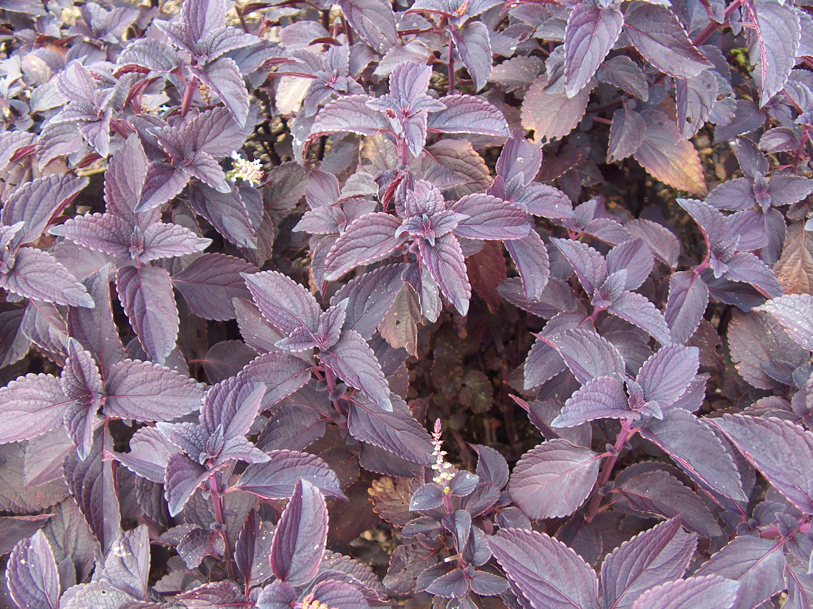 Solenostemon scutellarioides 'Dark Star' / Solenostemon scutellarioides 'Dark Star'