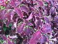 New Orleans Red Coleus / Solenostemon scutellarioides