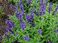Evolution Blue Sage / Salvia farinacea