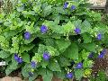 Mercer Blue Thunbergia / Thunbergia battiscombei