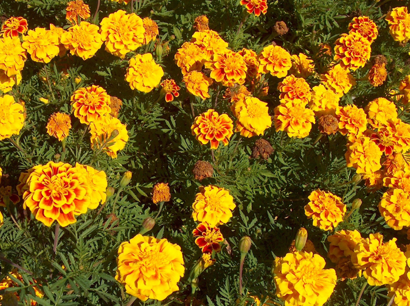 Tagetes patula 'Safari Yellow Fire' / Tagetes patula 'Safari Yellow Fire'