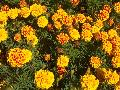 Safari Yellow Fire Marigold / Tagetes patula