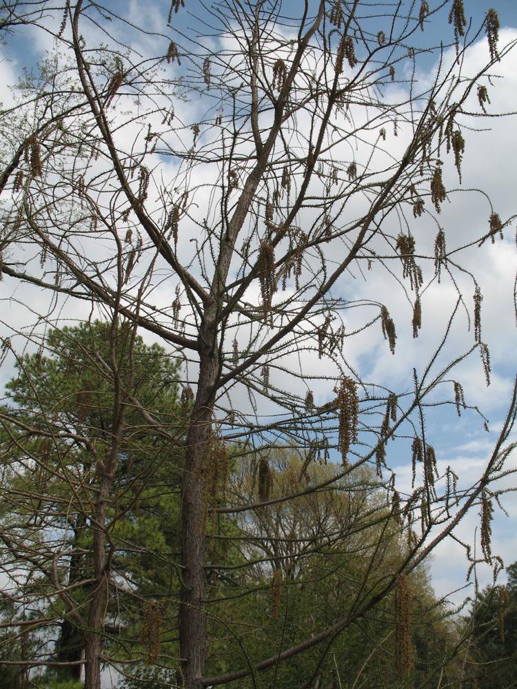 Taxodium ascendens 'Prairie Sentinel'  / Taxodium ascendens 'Prairie Sentinel'