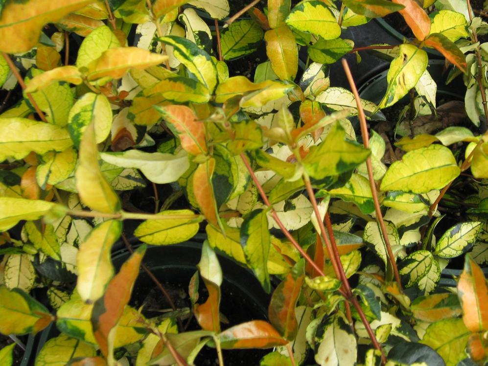 Trachelospermum asiaticum 'Ogon Nishiki' / Trachelospermum asiaticum 'Ogon Nishiki'