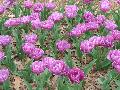 Blue Diamond Tulip / Tulipa