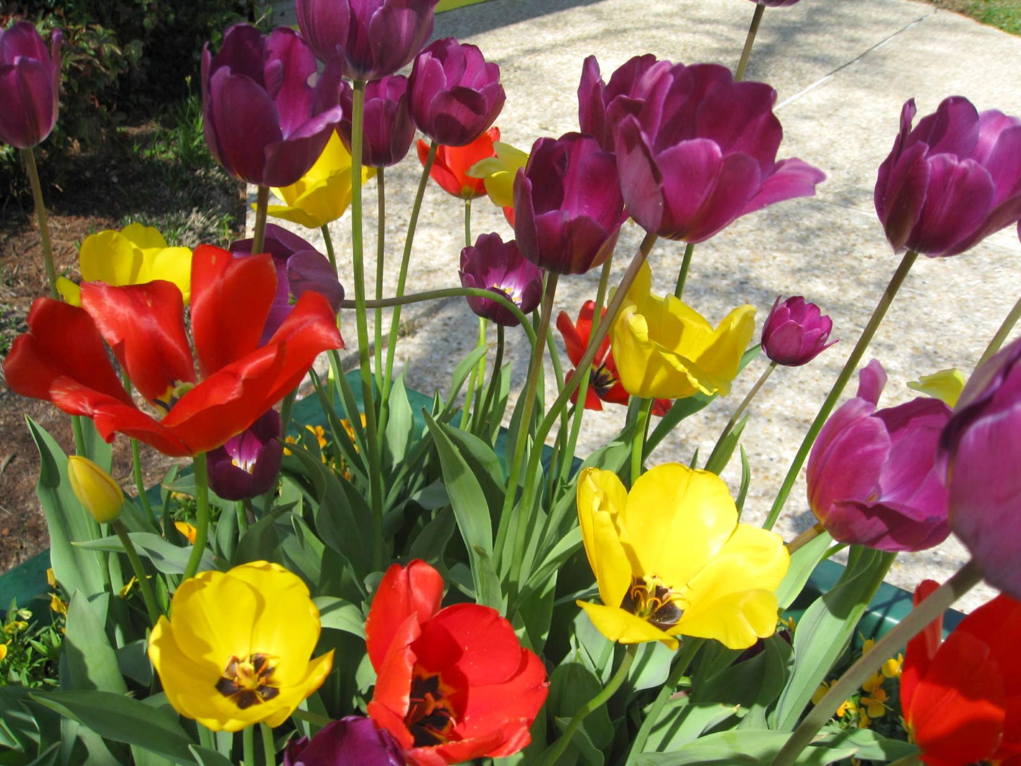 Tulipa hybrida  / Tulipa hybrida