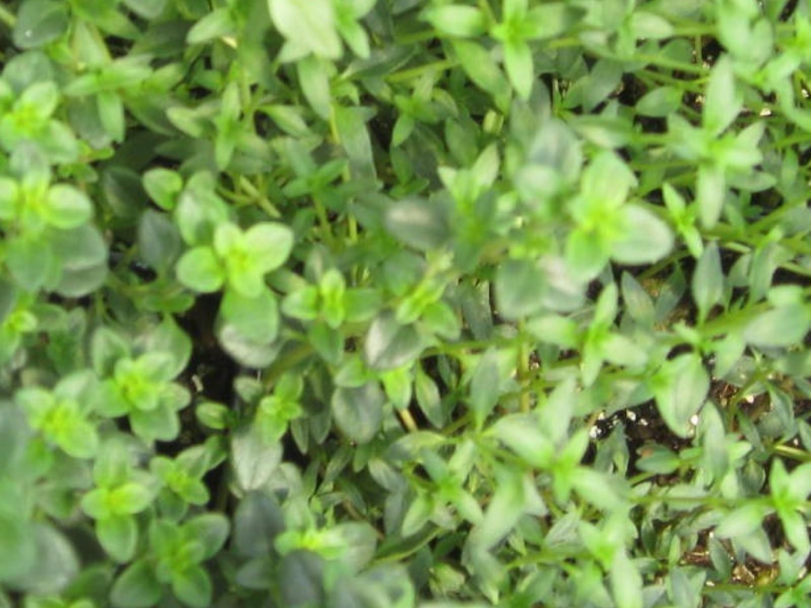 Thymus herba-barona    / Thymus herba-barona