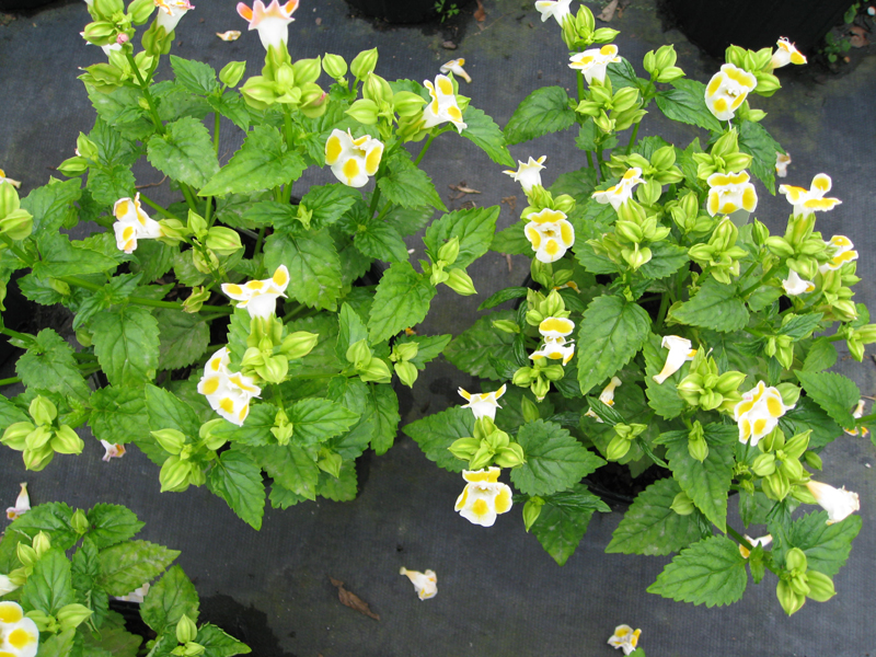 Torenia fournieri 'Clown Lemon Drops' / Torenia fournieri 'Clown Lemon Drops'