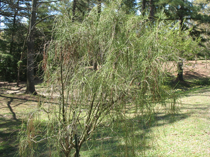 Thuja occidentalis 'Filiformis' / Thuja occidentalis 'Filiformis'