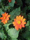 Dwarf Mexican Sunflower / Tithonia