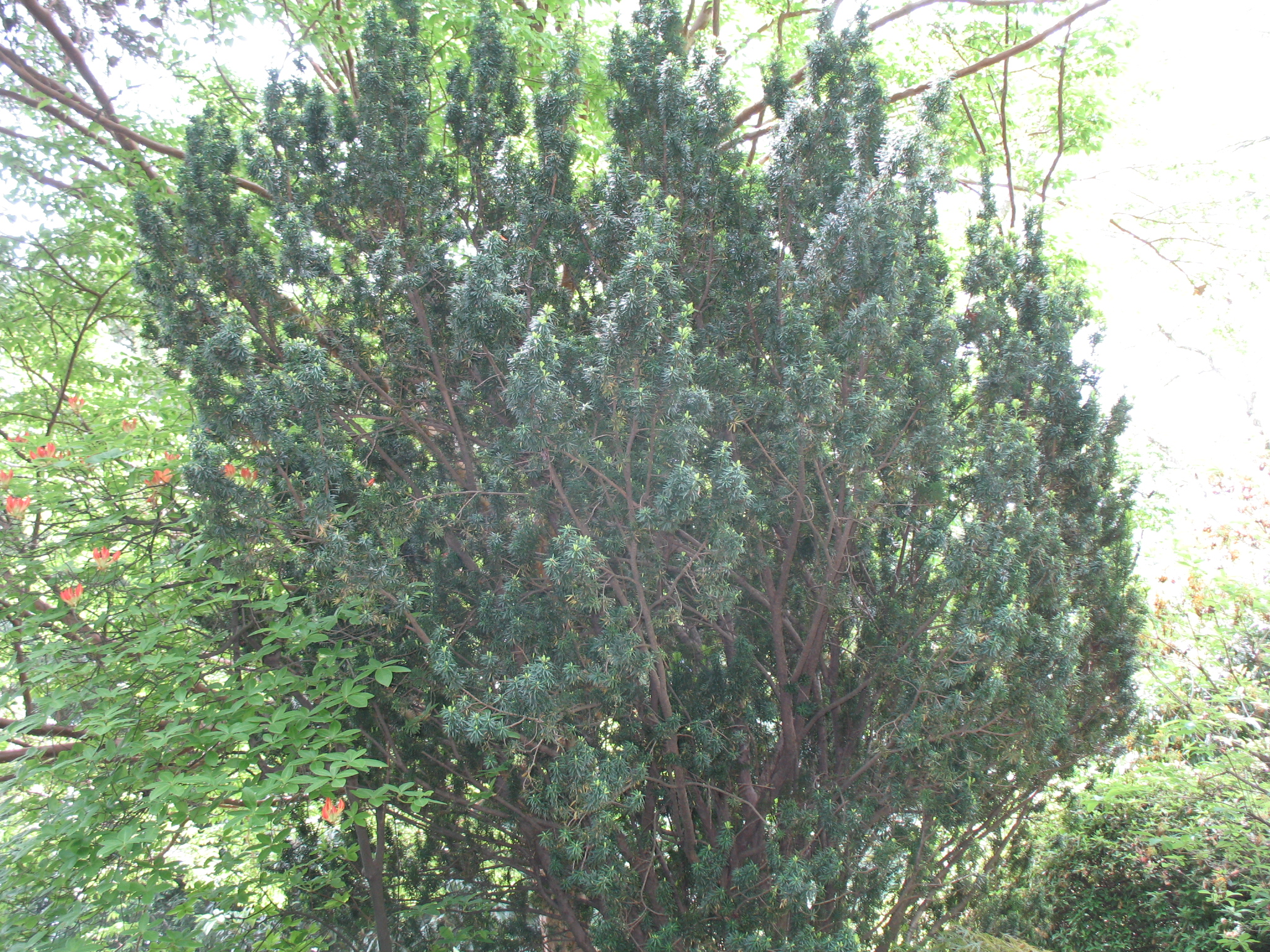 Taxus baccata / Yew, Common Yew, European Yew, English Yew
